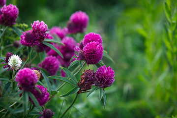 Red clover in the garden outdoors.