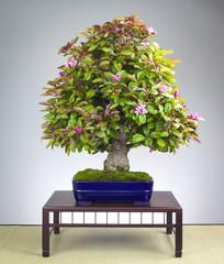 Alter Apfelbaum Bonsai mit Blüten