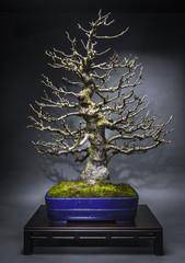 Bonsai Alter Apfelbaum im Winter