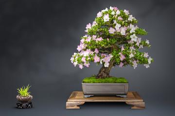 Bonsai alte blühende Japanische Azalee