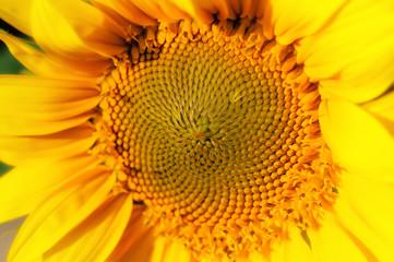 Yellow sunflower in summer, Bright sunflowers