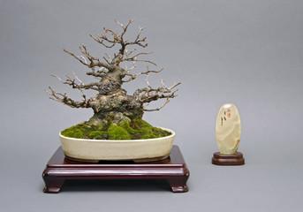 Bonsai Japanischer Ilex