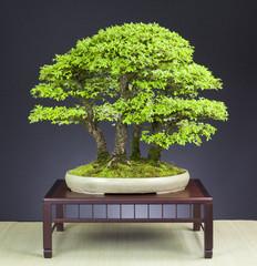 Bonsai Wald aus Zelkoven