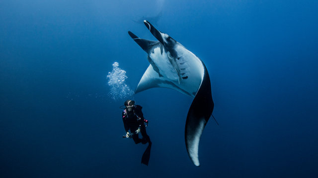 Scuba diver swimming with giant oceanic manta ray