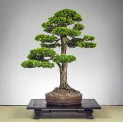 Bonsai Hinoki Muschelzypresse