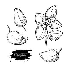 Fototapeta Oregano set vector drawing. Isolated Oregano plant with leaves. obraz