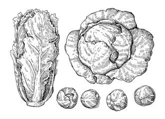 Cabbage hand drawn vector illustrations set.
