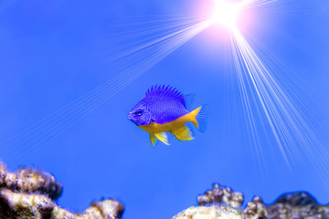 Azure Damselfish (Chrysiptera hemicyanea). Fish of the genus Pom