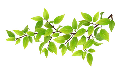 Tree branch with green leaves. Detailed vector plant, isolated on white background.