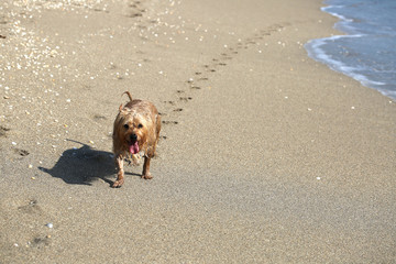 Happy dog leaving a trail of paw prints on the beach on Singer Island, Florida