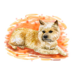 Watercolor closeup portrait of cute Norwich Terrier breed dog isolated on white background. Shorthair small hunting dog posing at dog show. Hand drawn sweet home pet. Greeting card design. Clip art