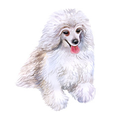 Watercolor closeup portrait of cute Toy poodle breed dog isolated on white background. Curly hair small water dog showing tongue. Hand drawn sweet home pet. Greeting card design. Clip art illustration