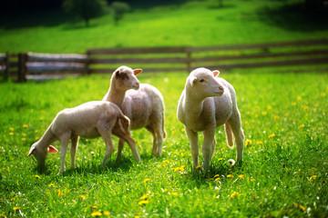 Little lambs grazing on a beautiful green meadow with dandelion.