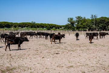 Les taureaux noirs camarguais dans l'enclos