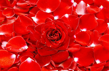 Full frame red roses and rose petals. Red flower with water drops for wallpaper.