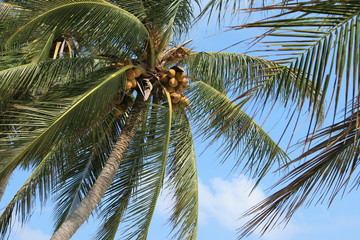 View up a palm tree in the wind