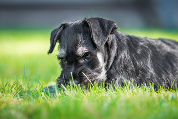 Miniature schnauzer puppy lying ion the lawn