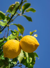 Fototapete - Zitrusfrüchte Zitronen am Baum