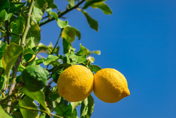 Wall Mural - Lemons on lemon tree