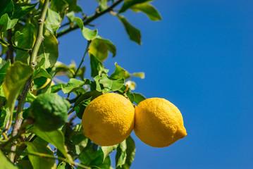 Fototapete - Lemons on lemon tree