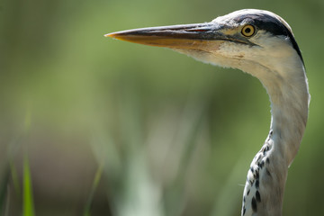 Fototapete - Grey Heron Close Up