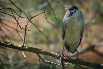 Fototapete - Night Heron Close Up