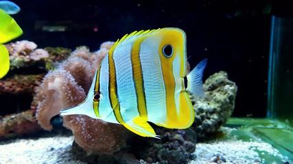 Butterfly fish (Shelmon)