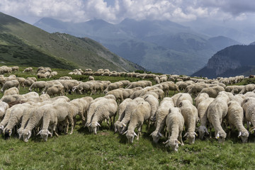 a flock of sheep in mountains