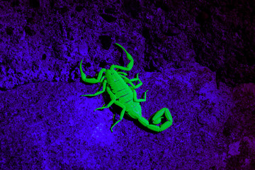 Arizona bark scorpion  - Centruroides exilicauda  in ultraviolet light
