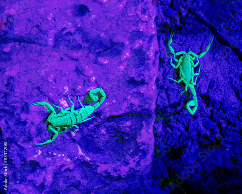 Two Arizona bark scorpion in ultraviolet light