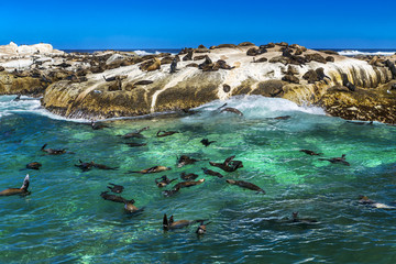 Republic of South Africa. Duiker Island (Seal Island) near Hout Bay (Cape Peninsula, Cape Town). Cape fur seal colony (Arctocephalus pusillus, also known as Brown fur seal)
