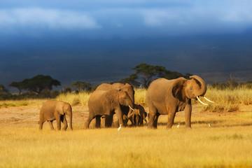 Wall Mural - Walking Elephants in Amboseli National Park, Kenya