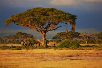 Wall Mural - Elephant herd under a tree at sunrise in Amboseli National Park, Kenya