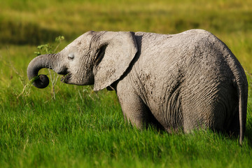 Wall Mural - Young Elephant eating grass in Amboseli National Park, Keny