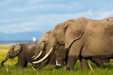 Wall Mural - Big Elephant cow with amazing tusks with daughter and baby in Amboseli National Park, Kenya