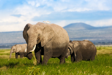 Wall Mural - African Elephant cow with young ones in Amboseli National Park, Kenya