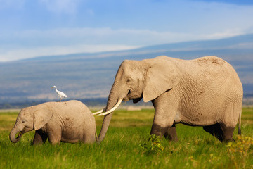 Wall Mural - Elephant mother with calf in Amboseli National Park, Kenya