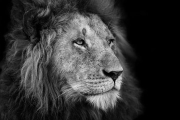 Portrait of a big Lion from Rekero Pride in Masai Mara, Kenya