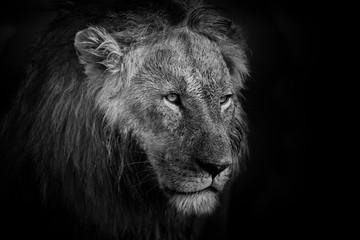 Portrait of a Lion in Mara Triangle, Kenya