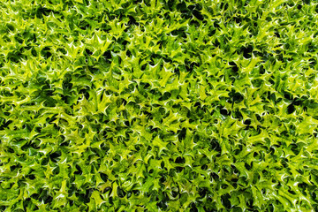 Holly Bush Leaves Texture