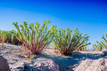 Euphorbe sur les dunes des Sanites-Maries-de-la-Mer