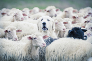 In de dag Schapen A shepherd dog popping his head up from a sheep flock. Disguise, uniqueness and/or lost in the crowd concept