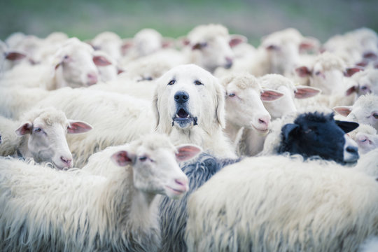 A shepherd dog popping his head up from a sheep flock. Disguise, uniqueness and/or lost in the crowd concept