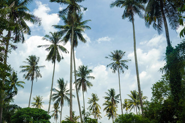 Coconut trees with blue sky background at tropical beach.