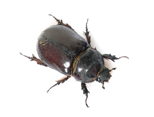 female European rhinoceros beetle