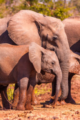 Wall Mural - Baby African Elephant and mother in the wild