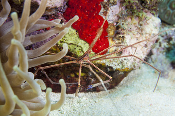 Unterwasser - Riff - Krabbe - Anemone - Tauchen - Curacao - Karibik