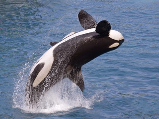 Wall Mural - killer whale (Orcinus orca) jumping out of the water