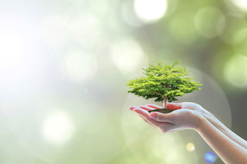 Human hands holding perfect growing tree plant on blur natural background green leaves: Arbor reforestation sustainable bio forest saving environment harmony ecosystems conservation csr esg campaign