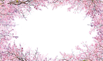Branch of Pink cherry flower are blooming. Himalayan Cherry on white background